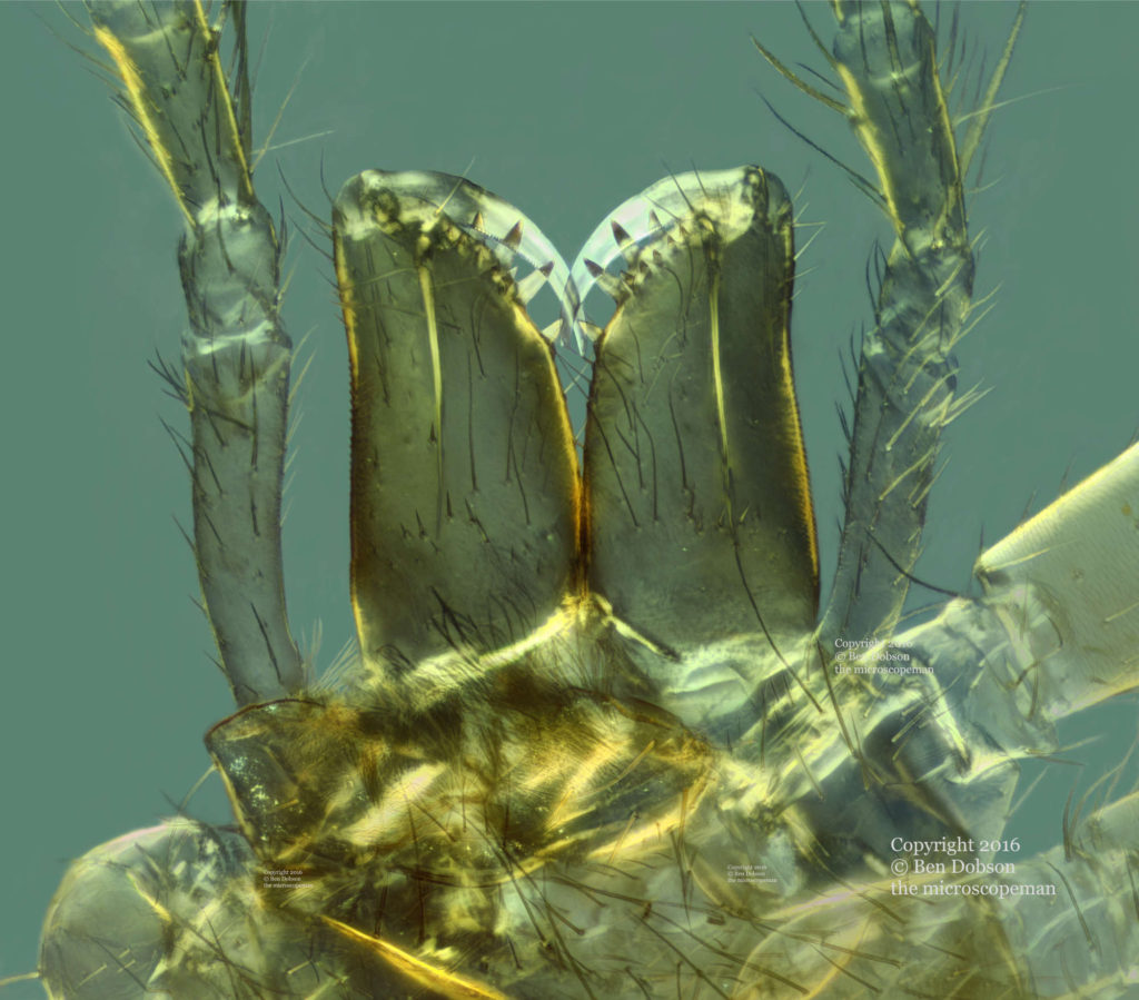 Jaws of a Spider