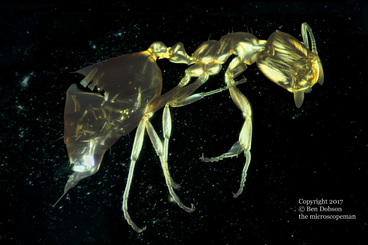 Star Ant